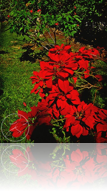 Poinsettia_after