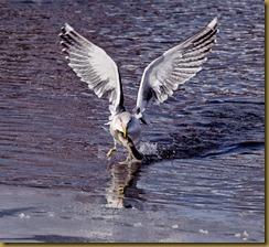 Lesser Black-backed Gull catching an Eel