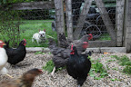 Look at those hens move!  They must be aware that a balanced diet is important for any animal's health, especially when you rely on them for food.