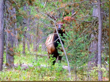 elk in trees-