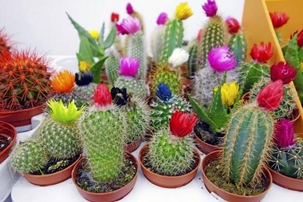 injertos-cactus