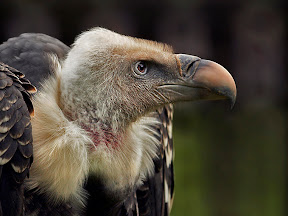 Griffon Vulture by John Powell EFIAP DPAGB BPE4