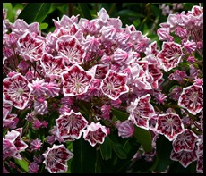 9b2 - Maine Welcome Center Mountain Laurel