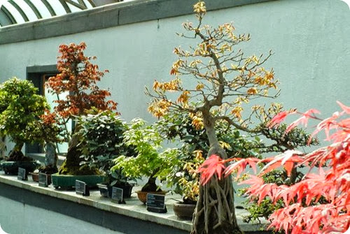 indoor vs outdoor bonsai