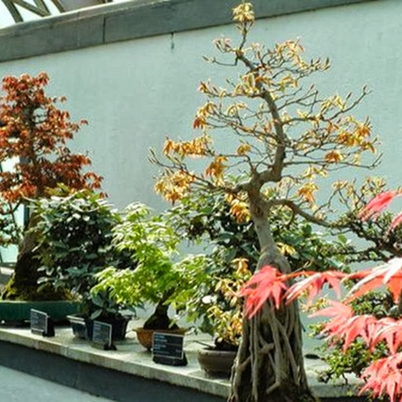 Indoor versus outdoor bonsai.
