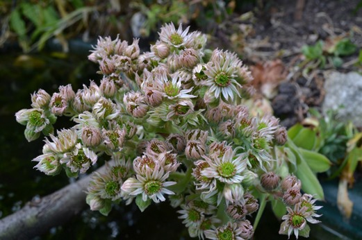 Ice plant - Houseleek - in full flower
