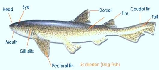 Scoliodon-shark