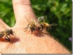 včely na květu a matečniky 138