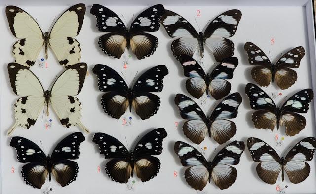 Exemples de mimétismes. 1. Papilio dardanus, mâles. 2. P. dardanus, femelle f. niavius. 3. Hypolimnas dinarcha, mâles. 4. H. dinarcha, femelle. 5. H. anthedon, mâles f. dubius. 6. Amauris niavius. 7. & 8. H. anthedon, mâles f. anthedon. Ebogo, avril 2013. Coll. et photo : C. Basset