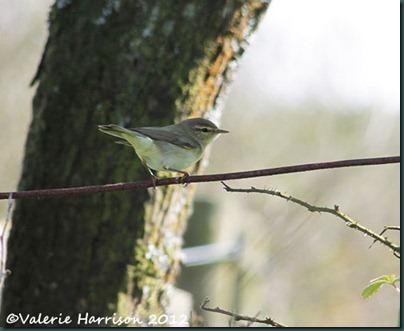 16 Willow-Warbler