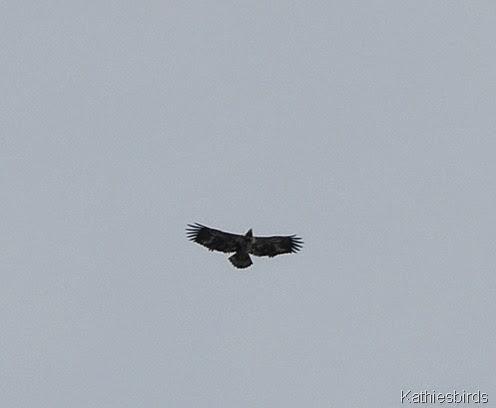 3a. bald eagle in yard-kab