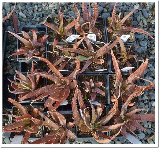 120310_UCDArboretum_Aloe-Estrella-del-Mar_02