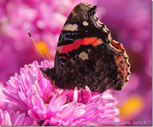 red-admiral-closed