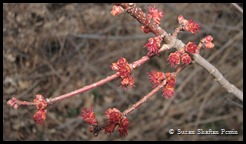Budding red maple