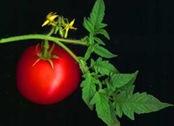 Tomato_web
