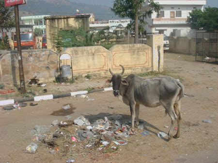 Obiective turistice India: vaca sfanta