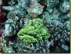 SG Lettuce Coral-001