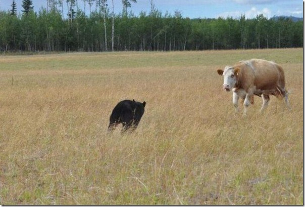 Vacas vs Urso (1)