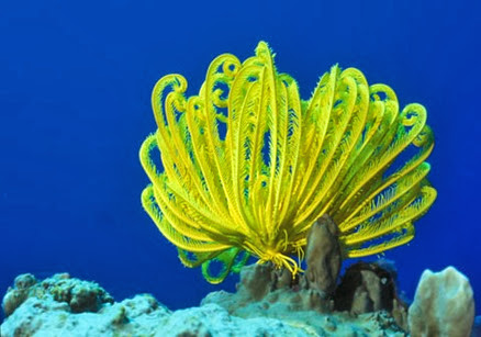 Amazing Pictures of Animals, Photo, Nature, Incredibel, Funny, Zoo, Crinoid, Lamprometra palmata, Alex (2)