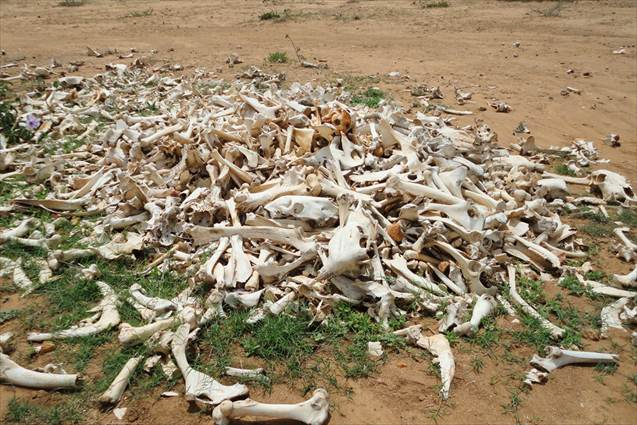 Cattle carcasses strewn across the Borena region of Ethiopia as a result of drought, 2011. Photo: World Vision