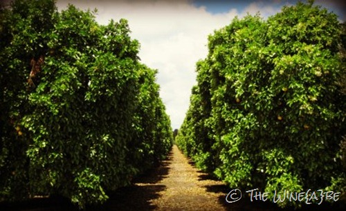 orange_groves