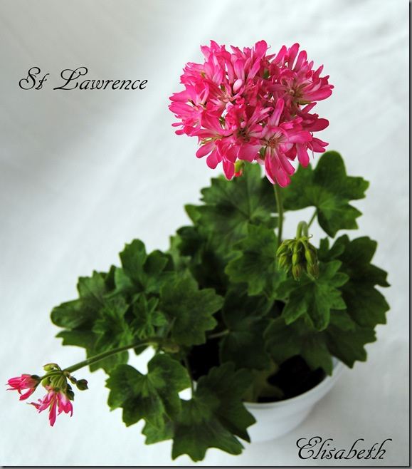 Pelargonium juni-11 004