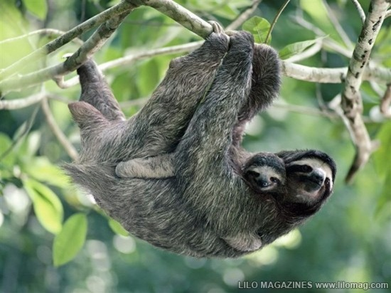 Three-Toed Sloth 01