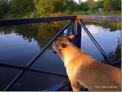 泰國芭達雅-狗狗