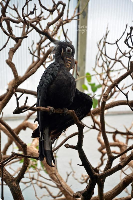 Zoo Frankfurt Visayas Tariktik Hornvogel 150813 (2)