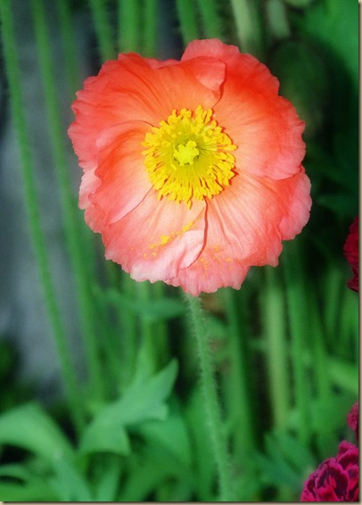 Coral-Colored Icelandic Poppy