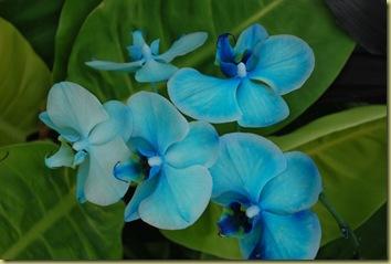 Orchides Blue
