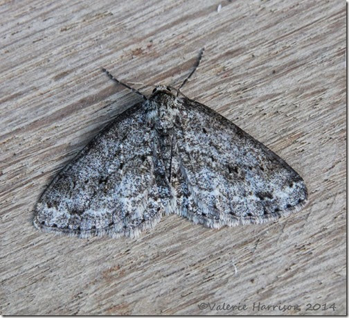 Engrailed-s-engrailed