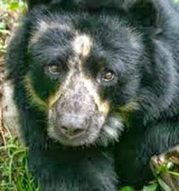 Amazing Pictures of Animals, Photo, Nature, Incredibel, Funny, Zoo, Spectacled bear, Tremarctos ornatus, Mammals, Alex (1)