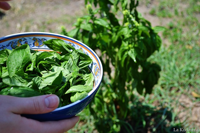 basil picking 1
