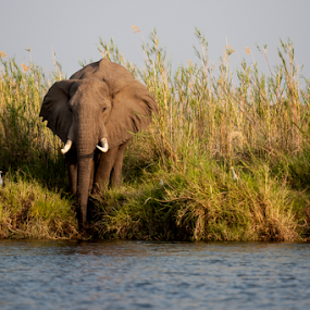 Morning stroll to river bank by Marsilio Casale - Animals Other Mammals ( wild, elephant, zambia, afriva, zambezi, river )