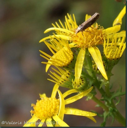 13-micro-moth-on-ragwort