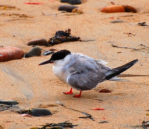 6. Common tern-kab