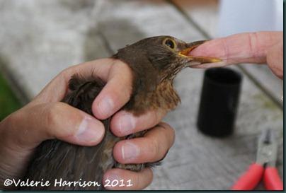 9 ringing blackbird-2