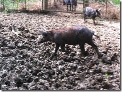 hogs 012