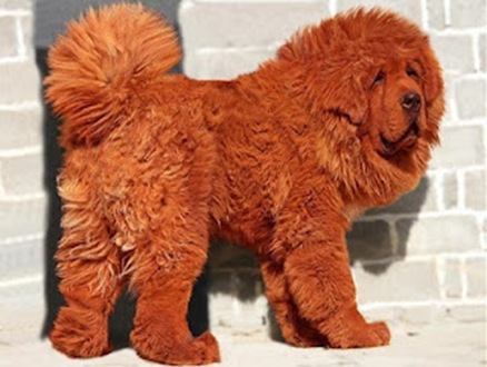 New_Most_Expensive_Dog_Sold_for_1_Million