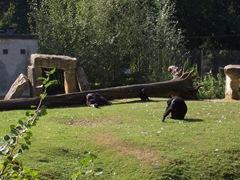 2007.09.14-017 chimpanzés