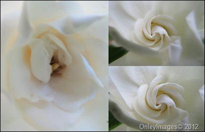 gardenia blooms