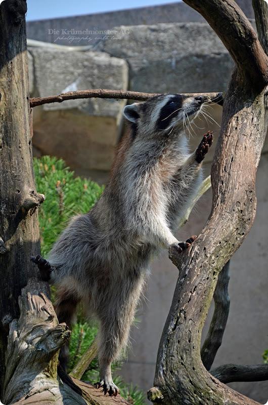 Wremen 29.07.14 Zoo am Meer Bremerhaven 56 Waschbären