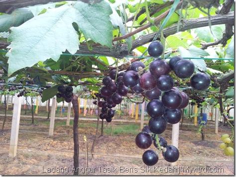 Ladang Anggur Tasik Beris 15