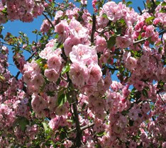 crab apple tree 2014  s