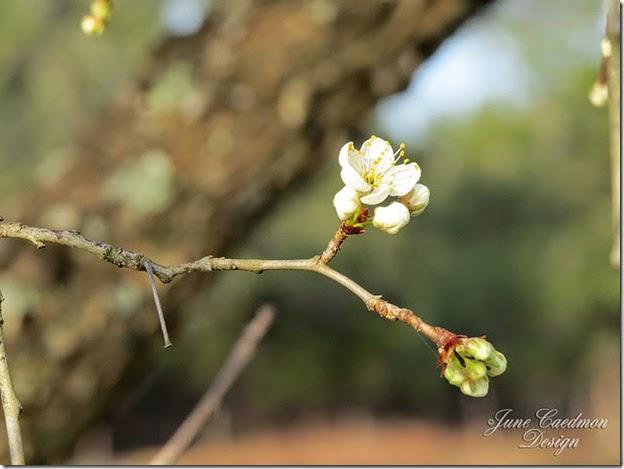 Pear_Blossom2