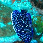 junger Engels-Fisch, Komodo