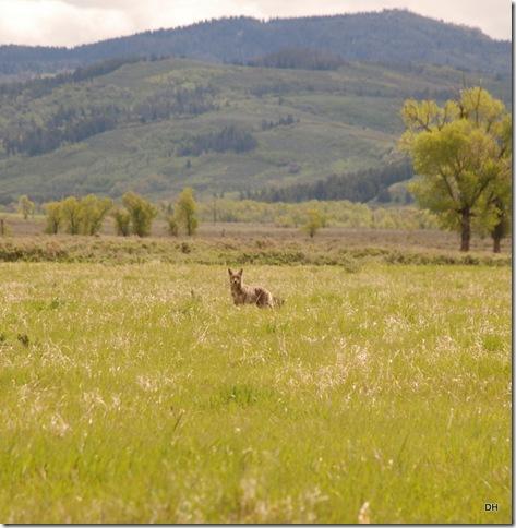 06-04-13 A Teton NP - Mormon Row Area (25)a