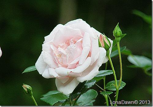 Rose_NewDawn_Climbing