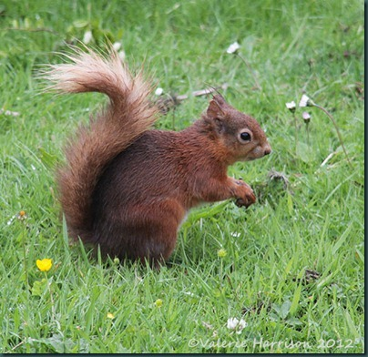 red-squirrel-3